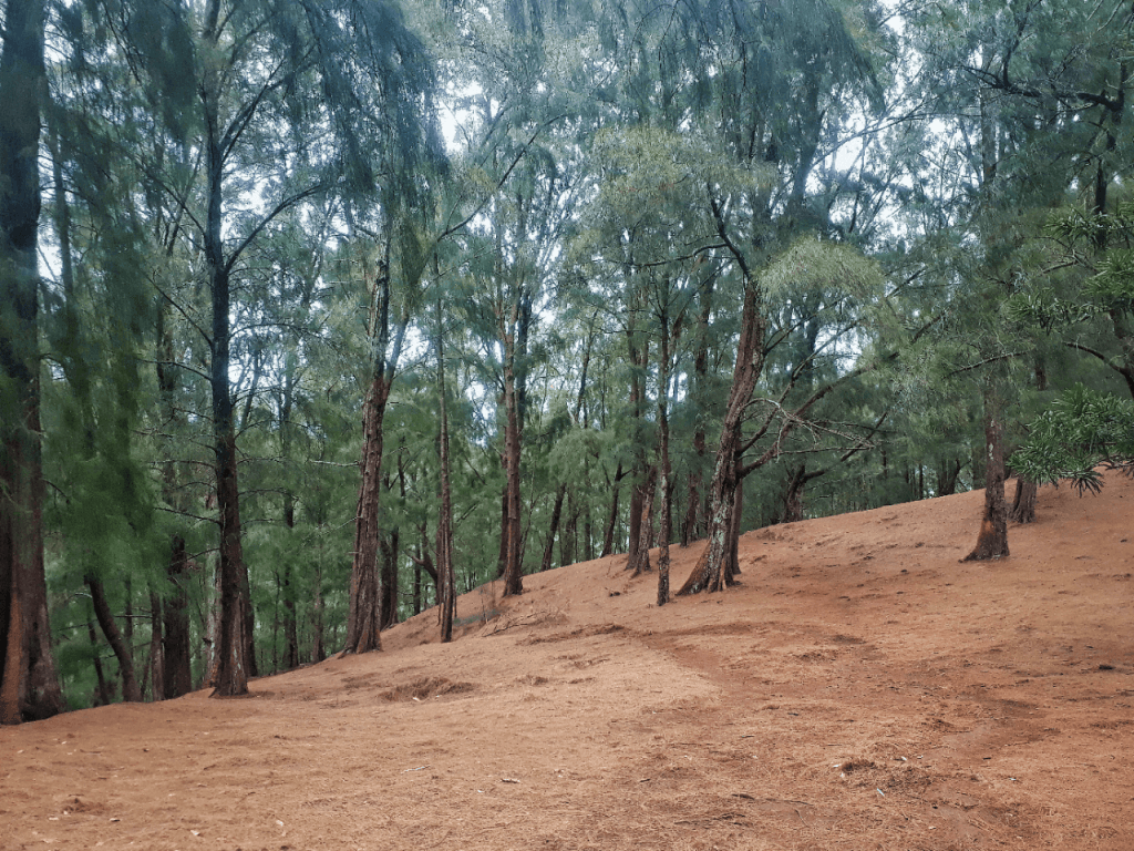 kuliouou trail pine forest