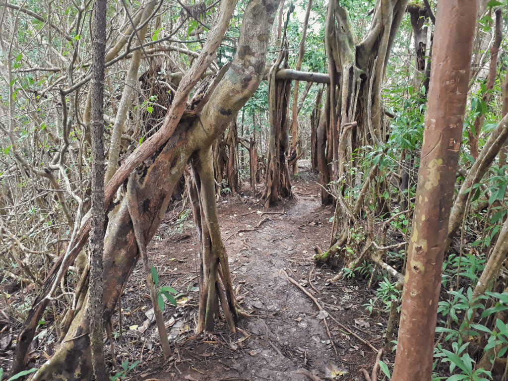 kuliouou forest trail